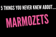5 Things You Never Knew About Marmozets