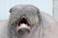 This Walrus Is More Metal Than You